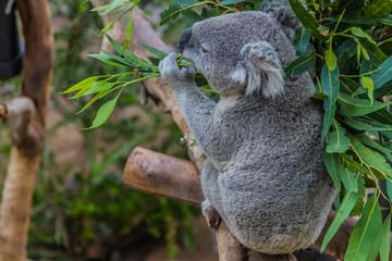 Wall Murals Koala Koala (Phascolarctos cinereus)