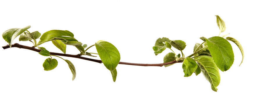 Apple tree branch with leaves on an isolated white background, closeup. Young sprouts of a fruit tree, isolate