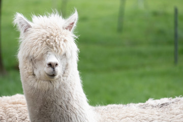 White Alpaca, a white alpaca in a green meadow. Selective focus on the head of the alpaca, photo of head