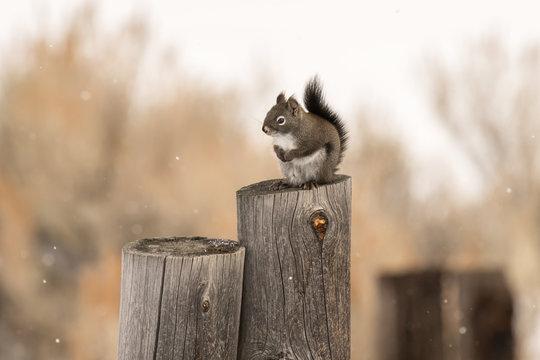 Western Red Squirrel