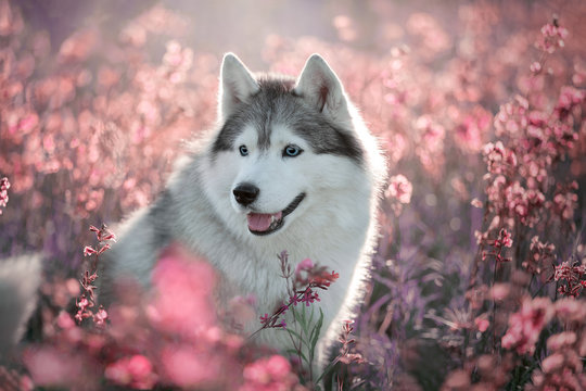 Beautiful portrait of a Siberian Husky in flowers. Siberian Husky dog in nature