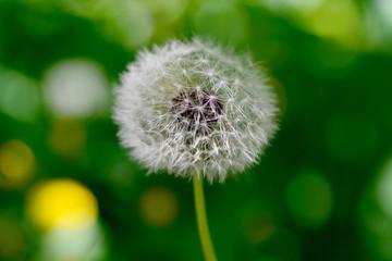 dandelion plant detail