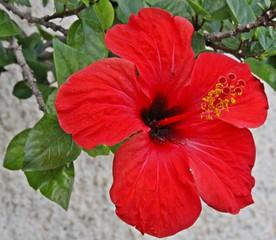 Obraz hibiskus, kwiat, czerwony kwiat, natura, czerwony - fototapety do salonu