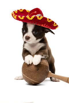 Cute Chihuahua puppy in a sambrero and with maracas. Dog in a Mexican outfit on a white background, isolation.