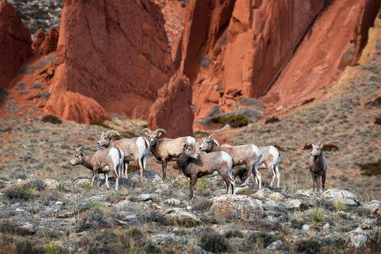 Bighorn Sheep Red Rocks 1