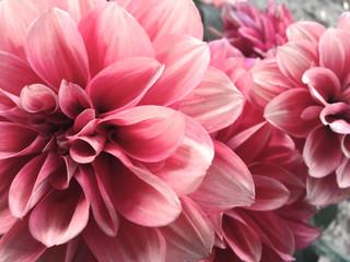Poster de jardin Dahlia Close-up Of Pink Flower