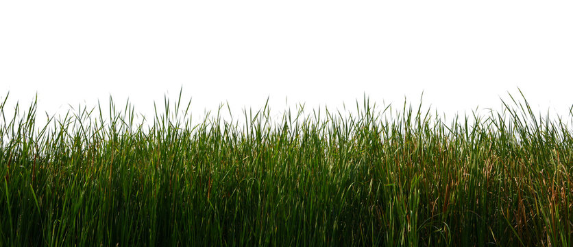 Large tall grass Isolated on a white background