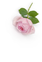 Rosenblüte liegt auf weißem Hintergrund