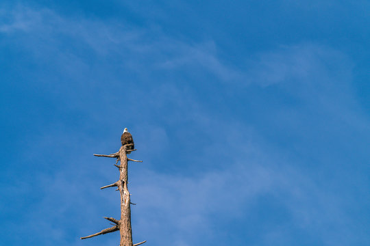 one eagle on the top of the tree against the  blue sky.
