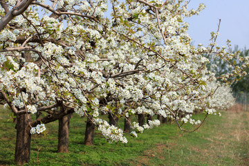 Pear trees blossom in spring