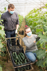 Farmer couple in medical masks harvesting cucumbers