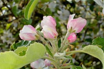 Fototapeta kwiat jabłoni obraz