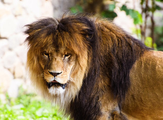Wall Mural - Beautiful Mighty Lion. Animal world. Big cat.