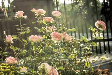The most desirable garden plants. Rose flowers blossoming in the garden. Summer bloom. Shrub of...