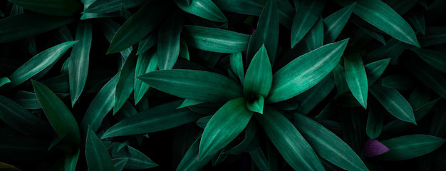 Wall Mural - closeup nature view of green leaf in garden, dark wallpaper concept, nature background, tropical leaf