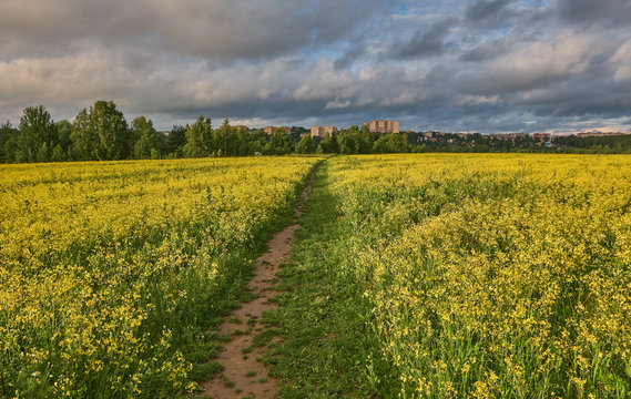 Summer landscape with blooming rapeseed field and dirt road on a sunny evening