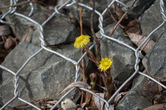 Blooming spring coltsfoot on the background of stones and metal mesh