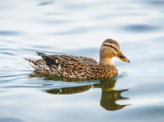 duck swimming in lake in the park