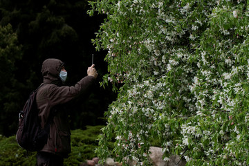 A man wearing a protective face mask takes photos of a flowering tree in the Central Botanical Garden, amid the coronavirus disease (COVID-19) outbreak, in Minsk
