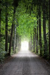 A tunnel of the single lane country road and tall green trees. Sunlight through the tree trunks....