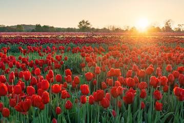 Spoed Foto op Canvas Tulp Tulip in farm sunrise