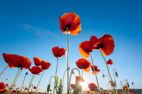 red poppy on the blue sky background