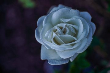 White Rose in the evening