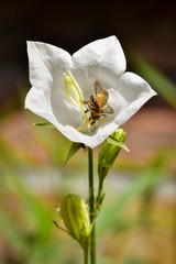 Honey bee diving into white bell flower to collect nectar