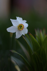 Photo on textile frame Narcissus Narcis noble flower for the garden