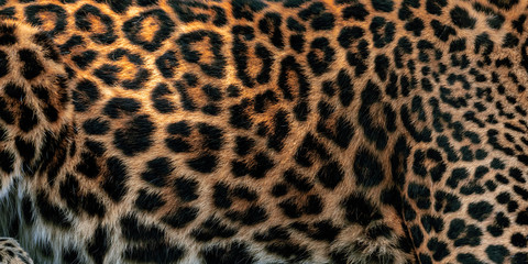 Fototapete - Leopard skin texture for background (real fur)