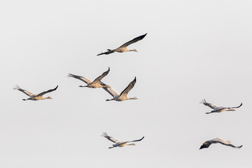 flying flock of birds, Common Crane (Grus grus), migration in the Hortobagy National Park, Hungary puszta, European ecosystems in UNESCO World Heritage Site Fotomurales