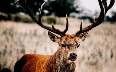 Photo sur Toile Cerf deer in the wild