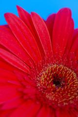 Foto op Aluminium Gerbera Bouquet of orange gerbera in natural light