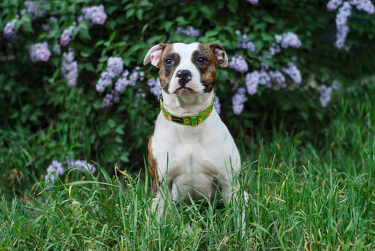 american staffordshire terrier flaunts in a lilac bush in the park
