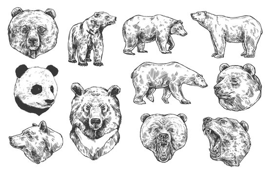Grizzly bear and panda vector sketches, isolated icons set. Heads of predatory animals. Wild polar and Asian black bears with angry muzzles, open mouth and sharp teeth. Engraved monochrome sketches