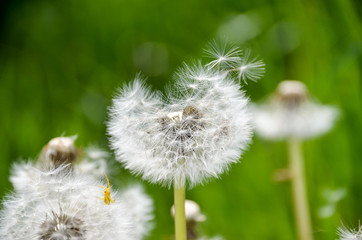 Dandelion flower with seeds ball swaying in the wind on the field. Dandelion seed fluffy blow ball with spider on it on meadow in spring. Dandelion seed fluffy blow ball on grassland.