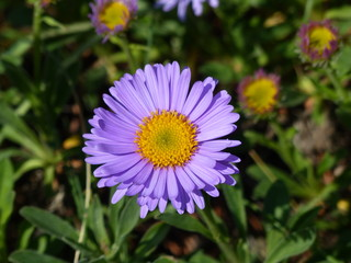 Aster alpinus, the alpine aster or blue alpine daisy, is a species of flowering plant in the family Asteraceae.