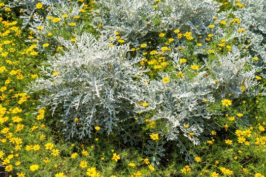 Artemisia absinthium or absinthe wormwood with euryops chrysanthemoidesor or african bush daisy in the garden