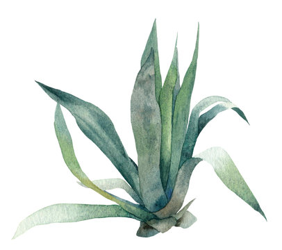 Plant with green leaves (agave) hand drawn in watercolor isolated on a white background. Watercolor floral illustration. Botanical illustration