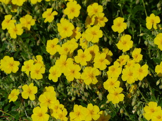 Helianthemum Butter & Eggs  known as rock rose, sunrose, rushrose, or frostweed, is a genus of about 110 species of flowering plants in the family Cistaceae.
