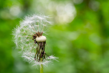 fluffy dandelion seeds in a green field in summer. spring day in the park. dandelion seeds flew away