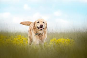 labrador retriever old dog beautiful portrait funny walk outdoors spring photos of dogs