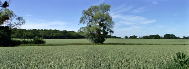 Panorama d'un arbre au milieu d'un champ de blé.