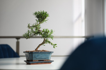 Aluminium Prints Bonsai Japanese bonsai plant on light table indoors, space for text. Creating zen atmosphere at home