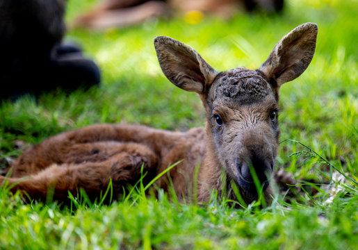 A newborn elk calf lies in the grass at Slottsskogen Zoo in Gothenburg