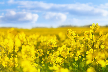 Poster Jaune Yellow rapeseed field against blue sky background. Blooming canola flowers.