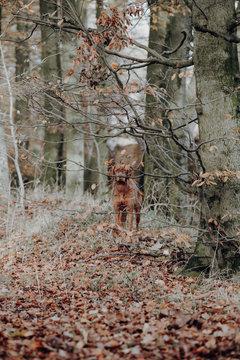 Magyar-Vizsla versteckt sich hinter dem Baum