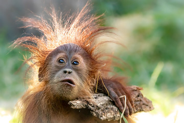 Orang-Utan baby playing with a stick Fotomurales