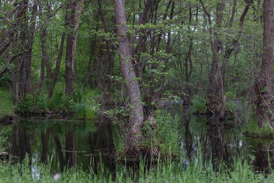 Marshland, tree roots above the water.