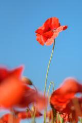 Foto auf Leinwand Mohn poppy in the sky